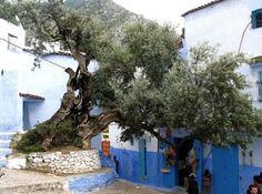 L'olivier de Chefchaouen, Maroc