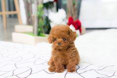 Poodle puppies|Toy poodles|Miniature poodle puppies|Teacup poodle puppies|Silver miniature poodle puppies|Toy poodle puppies|Tiny toy poodle puppies|Black poodle puppies|White poodle puppies|Apricot miniature poodle puppies|Teacup puppies|Teacup teddy bear poodle puppies|Red teacup poodle puppies|Full grown teacup poodle puppies|cute tiny poodle puppies|Teacup poodle for adoption|Teacup poodles for sale. Teacup Poodles For Sale, Toy Poodles For Sale, Teacup Poodle Puppies, Mini Poodle Puppy, Miniature Puppies, Poodle Puppies For Sale, Tea Cup Poodle, Mini Poodles, Tiny Puppies
