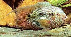 South American cichlids tend to be some of the largest Cichlids commonly kept in home aquariums. Description from aquariumlife.net. I searched for this on bing.com/images