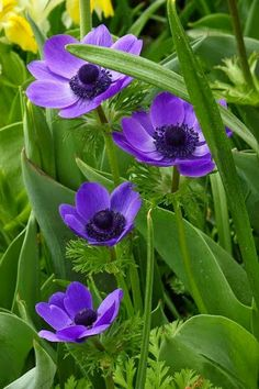 Beautiful Purple Anemones....
