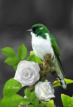 Green and white little bird.