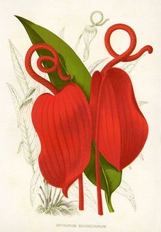 """Anthurium Scherzerianum"" (flamingo flower), bold chromolithographic flower print published in Thompson's Gardener's Assistant, about 1900."