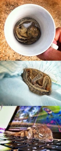 This tiny squirrel, called Rob, can sleep almost anywhere, from the inside of a coffee mug to its owner's laptop.