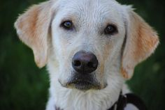 From our i Love Labradors Photo Contest: Cooper, a 2-year-old yellow Lab, had a rough start in life with stomach issues, but his dog dad Sid said he is doing much better now.