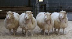 More lessons from Dolly the sheep