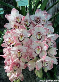Cymbidium Orchid Care.  This is orchid country - I grow cymbidiums outdoors.