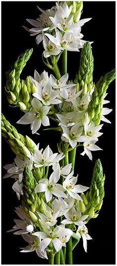 "Star of Bethlehem (Ornithogalum thyrsoides) is a plant species that is endemic to the Cape Province in South Africa, where it is called ""chincherinchee"" because of the sound it makes when the wind blows through a field of these flowers growing wild. Exotic Flowers, Amazing Flowers, White Flowers, Beautiful Flowers, Beautiful Gorgeous, Star Of Bethlehem Flowers, Plant Species, White Gardens, Trees To Plant"