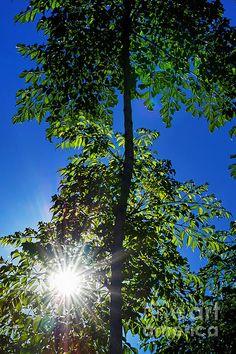 #SUNBURST THROUGH THE #TREES by #Kaye #Menner Quality Prints Cards at: http://kaye-menner.artistwebsites.com/featured/sunburst-through-the-trees-by-kaye-menner-kaye-menner.html