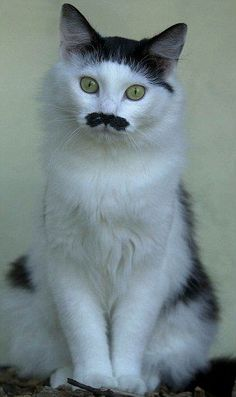 The furry Fuhrer! And from moustaches to love hearts this cat is not the only animal with bizarre markings
