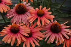 Buy coneflower Echinacea 'Mama Mia (PBR)' Position: full sun Soil: most soils, except very dry or boggy Rate of growth: average Flowering period: June to September Hardiness: fully hardy