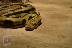 Animals Amazing, Big Animals, Jennifer Lawrence, Jennifer Lopez, Green Anaconda, Anaconda Snake, The Reader, Milk Snake, Animals
