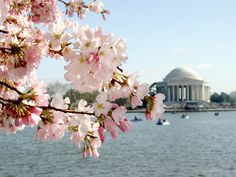 I was here for Cherry Blossom Festival. Cherry Blossom Time in Washington, D. So beautiful! Cherry Blossom Season, Cherry Blossoms, Blossom Trees, Washington Dc Hotels, Dc Travel, Travel Tips, Luxury Travel, Travel Ideas, Jefferson Memorial