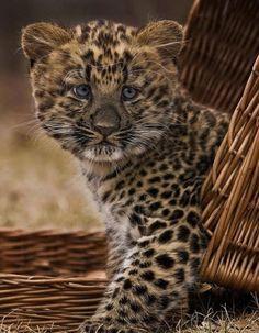 Baby guepardo