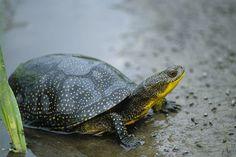 Blandings Turtle - NGPC