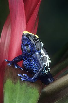 Poison Arrow Frog (Dendrobates tinctorius) by Gail Melville Shumway Photography check out Funny Frogs, Cute Frogs, Reptiles And Amphibians, Mammals, Beautiful Creatures, Animals Beautiful, Frosch Illustration, Snake Turtle, Amazing Frog