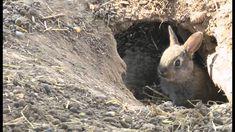 Výsledok vyhľadávania obrázkov pre dopyt králik divý a zajac poľný