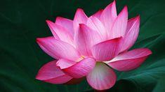 https://aos.iacpublishinglabs.com/question/aq/700px-394px/what-does-the-lotus-flower-mean_c705d4c6-b686-47fd-ac8c-5cc85c7ee4bf.jpg?domain=cx.aos.ask.com