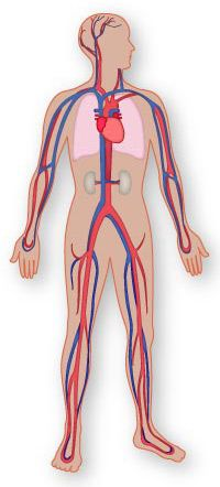 Anatomy of the Cardiovascular System - Texas Heart Institute Heart Information Center Human Body Unit, Human Body Systems, Nursing Schools In Nyc, Health And Physical Education, Mental Health, Heart Institute, Becoming A Nurse, Human Anatomy And Physiology, Circulatory System