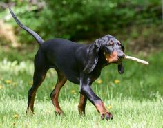 Get to Know the Black and Tan Coonhound a Southern Charmer
