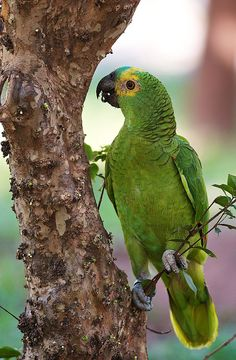 Blue-fronted Amazon (Amazona aestiva) by PeterQQ2009, via Flickr
