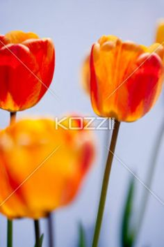 red and yellow tulips in focus - Closed tulips agasint a white background