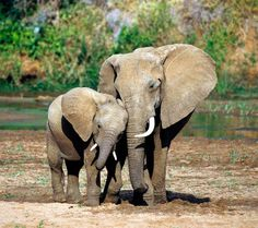 animal mother and child | ,elephants,animal,animals,calf elephant,elephant calf,mother,child ...