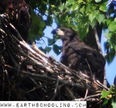 Baby Eagle (Eaglet)