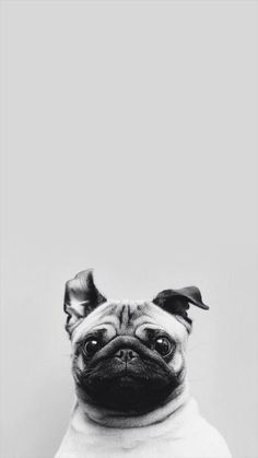 Funny Puppy Dog Simple Macro #iPhone #6 #wallpaper