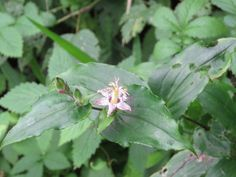 """Tricyrtis or """"hototogisu"""" in Japanese. 1 July 2016"""