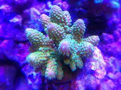 My 237L StarFire Rimless Reef