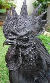 Ayam Cemani rooster, or the darth vader of poultry