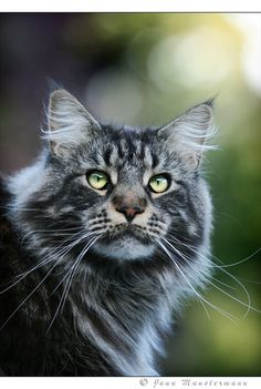 Maine Coon by kyolein on DeviantArt