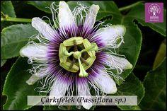 Expo 2016 Antalya BLOG: Flower of the day: Passiflora sp.