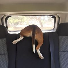 Typical Beagle