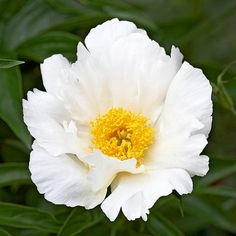 Peony:  Peonies are longtime garden favorites for their fantastic flowers and amazing fragrance. Once established, peonies bloom for decades with virtually no care.  Test Garden Tip: Single-flowered varieties such as 'Krinkled White' hold up well even in rainy spring weather.  Name: Paeonia selections  Zones: 3-8