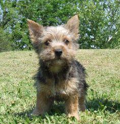 Norwich terrier pup