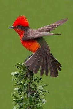 Vermillion Fly Catcher
