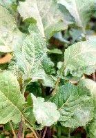 Brassica carinata - Ethiopian kale- Hořčice habešská  pdf -  http://203.64.245.61/fulltext_pdf/ebook1/10-12%20ethiopian%20kale.pdf