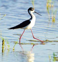 https://flic.kr/p/nnwevm | Black-necked Stilt | Black-necked Stilt @ Glendale Recharging Ponds, Glendale AZ