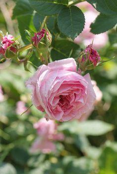 ~Sophie-de-Baviere Rose.   France 1827. Alba Rose.   Light pink rose that  blooms once during the season.