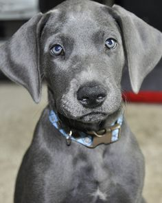 Blue Great Dane