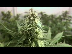 Spannabis 2013 and Remo put a video together to show at the event.  It features some wicked grow rooms.  Enjoy!    Check out Urban Grower Online http://www.urbangroweronline.com    This video contains footage of licensed medical marijuana grow rooms.  To be used for educational purposes only.