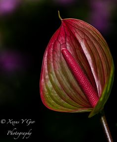 Anturio flower by Xexus y Geo, via Flickr