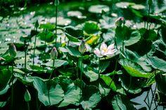 https://www.flickr.com/photos/paragon1988/shares/G6u0d0 | Thanh Pham's photos #photography #flower #nature #naturelover #life #lotus
