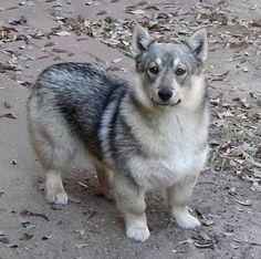 Wolf Corgi, Corgi Dog, Dog Cat, Spitz Dogs, Dog Mixes, Crazy Dog Lady, Medium Dogs, Mans Best Friend, Bellisima