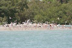 Flamingos - Bijagos Archipelago. Guinea Bissau