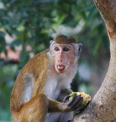 Monkey in Anuradhapura, North Central_ North Sri Lanka