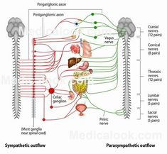 AUTONOMIC NERVOUS SYSTEM - is responsible for maintaining and controlling the involuntary effectors of the human body. This means that smooth muscles and involuntary actions, such as the heart, are regulated by the part of the nervous system that requires no conscious thought, but still receives directive from the brain. #autonomicnervoussystem  #HumanAnatomy #Medicalook