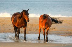Great collection of Corolla wild horses canvas wraps taken with environmental awarness and hand-picked with love. Available canvas sizes: 16″ x 20″ and 12″ x 36. Choose the best option for your home interior design and enjoy free ground shipping within the United States! #johnsamsphotography #photography #travelphotography #wildhorses #horse #stallion #wildlife #canvasprint #photographyprint #homedecor #homedesign #countrystyle #wallart #northcarolina #obx #outerbanks Photography Career, Wildlife Photography, Travel Photography, North Carolina Beaches, Us Marine Corps, Sams, Wild Horses, Canvas Size, Wrapped Canvas