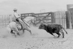 George Humphreys on Hollywood Gold working cattle, 6666 Ranch.